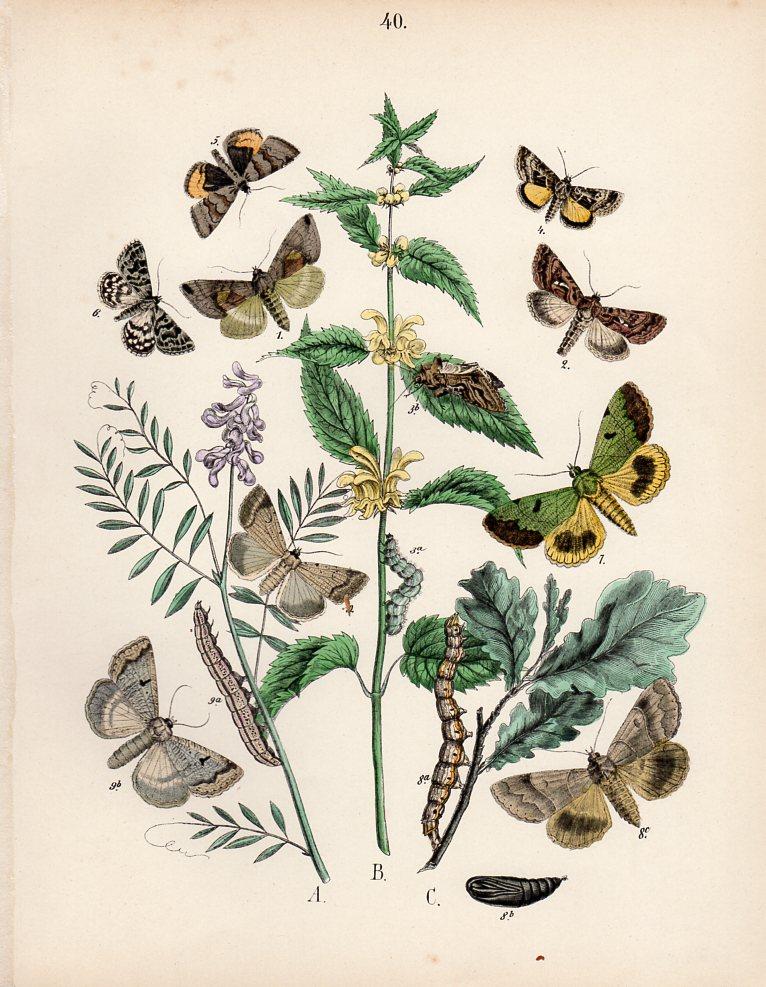 stampe antiche farfalle